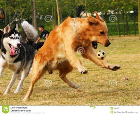 permanent puppy golden retriever golden retriever sitting breeds picture