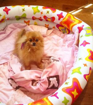 pomeranian crate can t afford a crate for pomeranian puppy