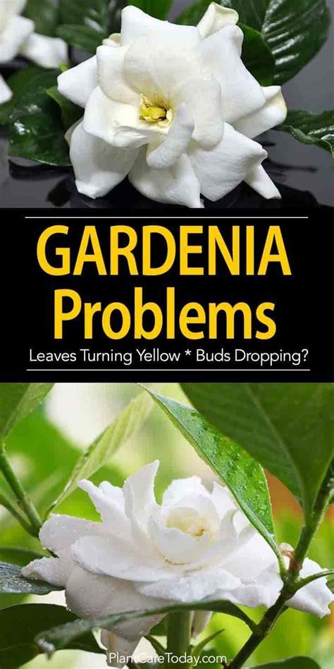 gardenia plant problems gardenia care landscaping