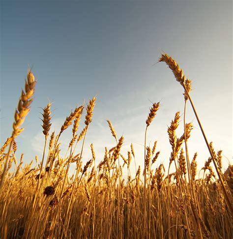 free stock image free stock photo wheat field the