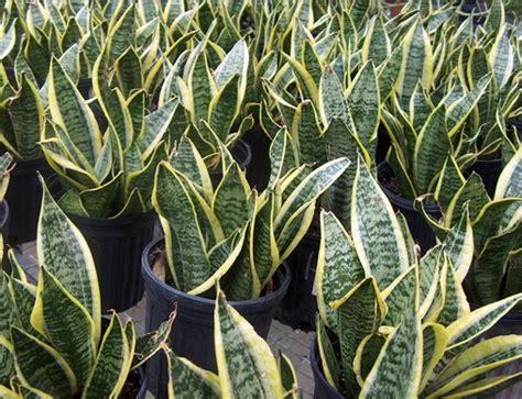 nama nama tanaman hias terpopuler  dunia indonesia