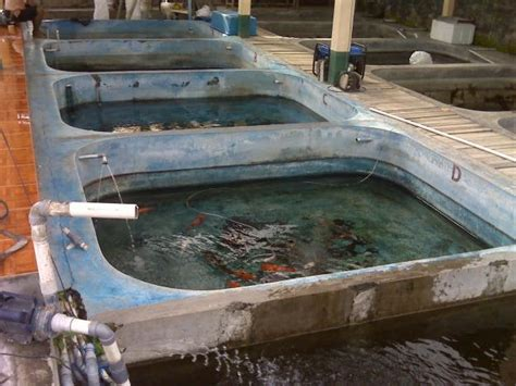 Bibit Ikan Koi Tangerang jual ikan koi ikan koi kontes ikan koi murah bibit