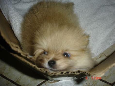 2 month pomeranian puppy fs 2 month pomeranian puppy