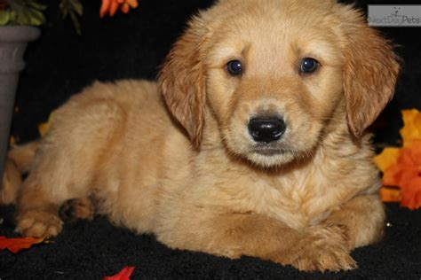golden retriever puppies in arkansas toby golden retriever puppy for sale near jonesboro arkansas 55bb772e f731
