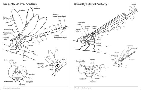 dragonfly anatomy diagram dragonfly anatomy diagram thorax pictures to pin on