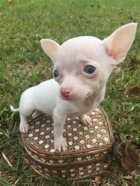 teacup applehead chihuahua puppies for sale pin micro teacup chihuahuas for sale new jersey chihuahua on