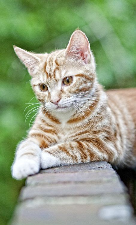 1000  ideas about Tabby Cats on Pinterest   Cats, Kittens