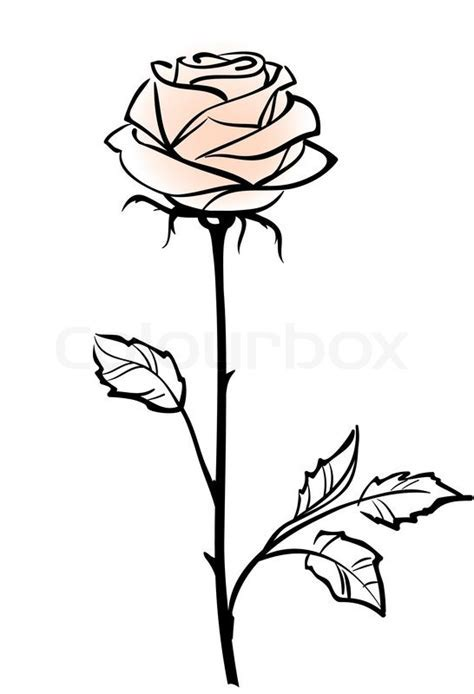 Beautiful single pink rose flower isolated on the