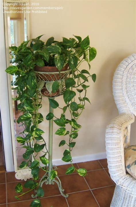 indoor vine plant 25 best pothos plant ideas on pinterest pothos vine