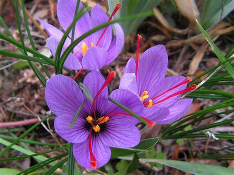 libro la flor del azafrn crocus sativus 171 herbology manchester
