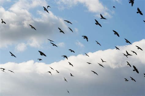 terre haute group shoots to control crows starting next