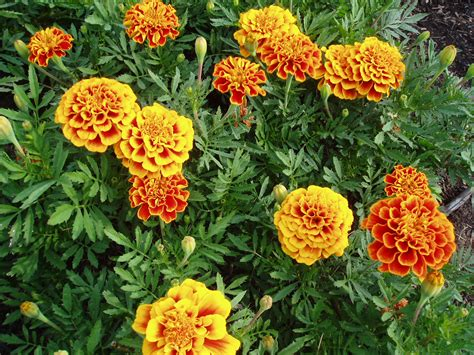 Marigold Flower Garden Marigold Golden Gate All America Selections
