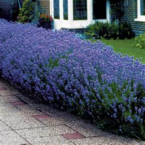 quot munstead quot lavandula angustifolia best in warm dry soil