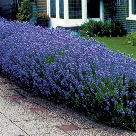quot munstead quot lavandula angustifolia best in warm dry soil and full sun zone 5 9 uses