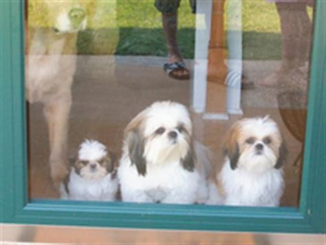 shih tzu puppies for adoption in nc shih tzu rescue carolina assistedlivingcares