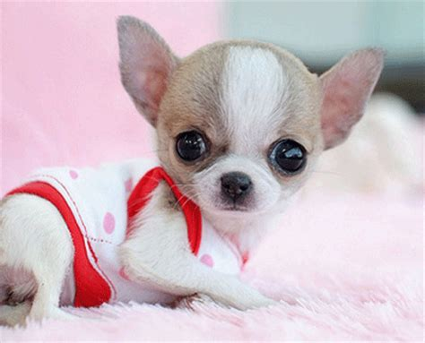 puppy frequently small amounts some top breeds for apartments