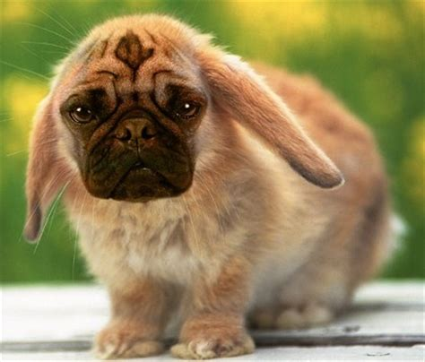 pug bunny 17 best images about pugs on a pug image and you can t see me