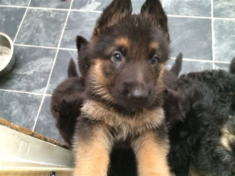 shepherd puppies for sale german shepherd puppies for sale west wakefield west pets4homes