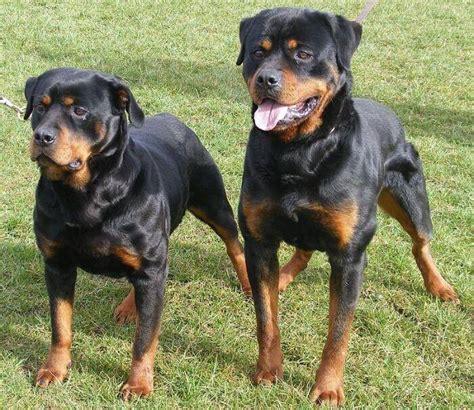 rottweiler aleman perros rottweiler historia cuidados entrenamiento fotos y