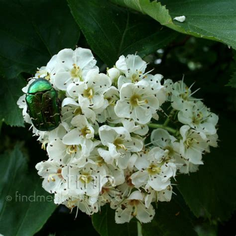 Net Name Search Florida A Large Image Of Crataegus Tomentosa Fl From Plant Encyclopedia