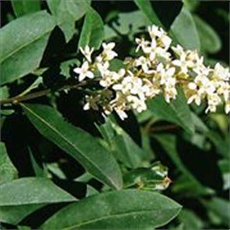 pianta con fiori bianchi molto profumati gelsomini speciali gelsomini speciali sul giardinaggio