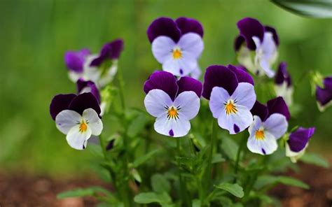viole pensiero in vaso viola pensiero viola tricolor piante annuali
