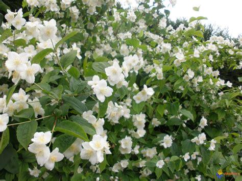 Arbuste A Fleurs by Photo Arbuste 224 Fleurs Blanche