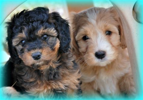 labradoodle puppies price australian labradoodle f1b goldendoodle puppies for sale breeder