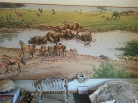 ashfall fossil beds barrel bodied rhino picture of ashfall fossil beds state