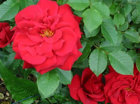 Ox Flowy Roses Maxi Pic2 mcc garden census