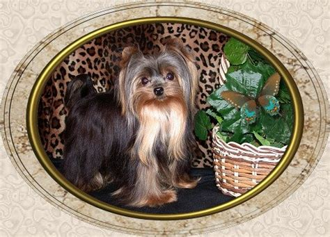 velvet touch yorkies page 7 velvet touch yorkies d o b height weight information