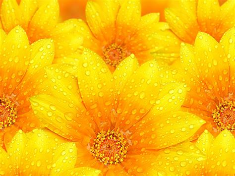wallpaper flower yellow yellow flowers wallpapers hd pictures one hd wallpaper