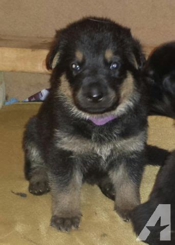 german shepherd puppies for sale in nj beautiful german shepherd puppies for adoption for sale in clifton new jersey