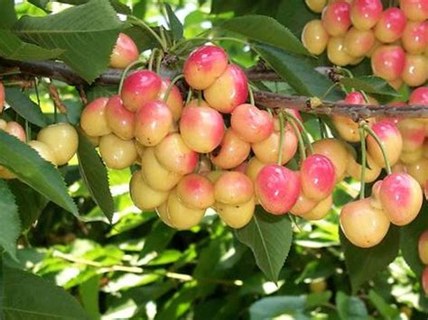 cherry tree fruit fruit trees forest products