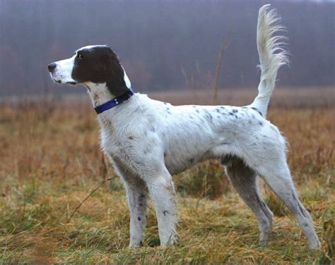 small setter dogs all list of different dogs breeds hunting dog