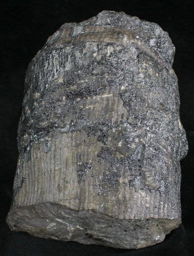 tree trunk sections for sale 4 4 quot fossil calamites trunk section west virginia for