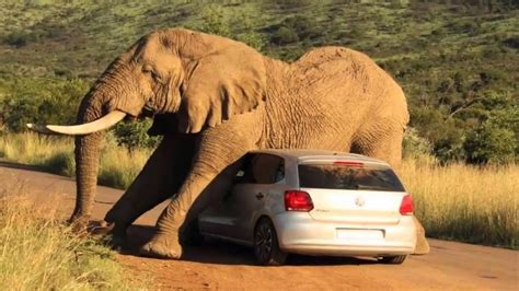Giant Elephant Destroys a Car,Watch what happened to the
