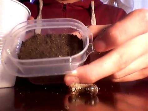 larva di cervo volante come fare una terrario per larve di cervo volante 1