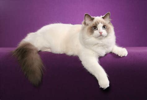 ragdoll que significa razas de gatos megapost parte 2 relajacion mu 241 ecas de