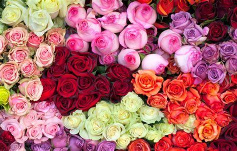 imagenes rosas de todos los colores significado de las rosas por su color