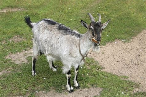 get your goat rentals 5 things you didn t know you could rent in japan gaijinpot