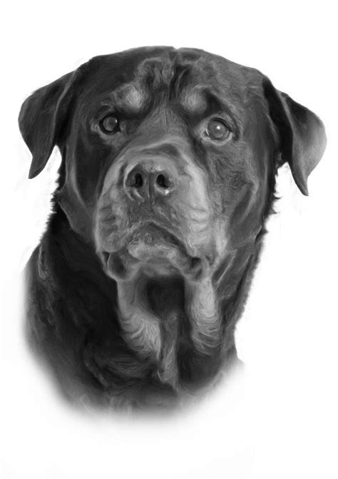 rottweiler drawing large stunning rottweiler drawing print picture ebay
