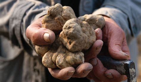 how to your to hunt truffles truffle tailor made holidays to piemonte in italy