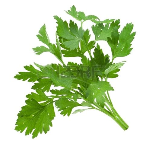 Parsley Clipart parsley leaves clip www pixshark images galleries with a bite