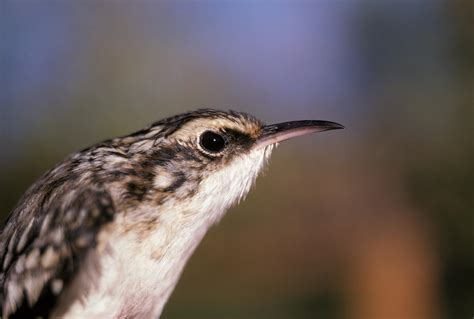 brown creeper audubon field guide