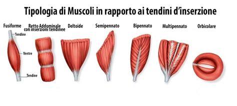 muscoli coscia interna apparato locomotore 45 muscoli della gamba