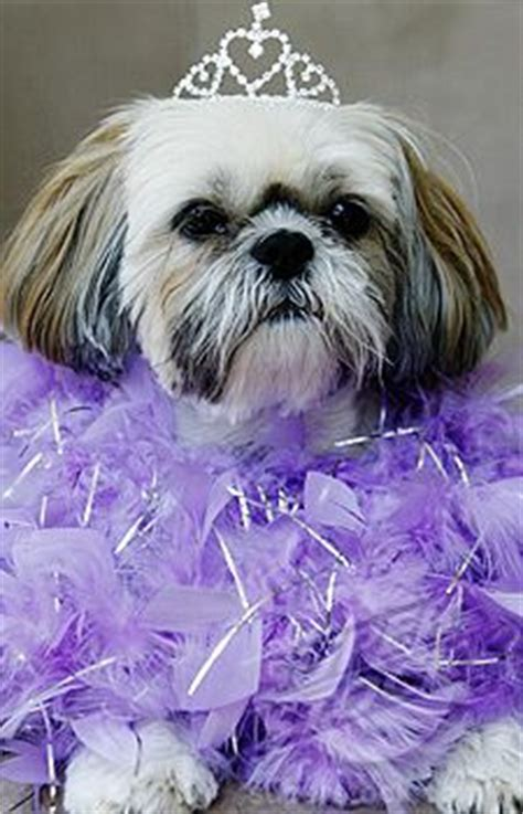 princess shih tzu shih tzu pictures on shih tzu maltese and