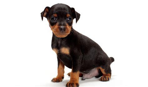 free miniature pinscher puppies miniature pinscher dogs 11 free wallpaper dogbreedswallpapers