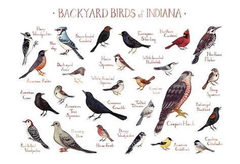 indiana backyard birds field guide art print watercolor
