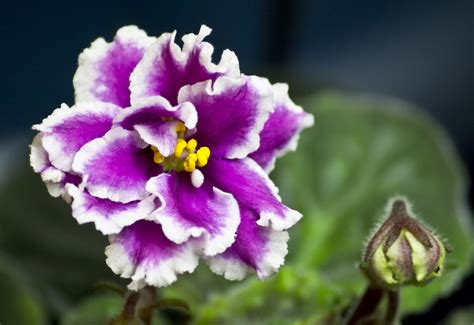 african violet african violet propagation the pay off the green thumb 2 0